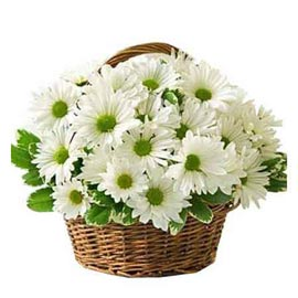 Send 15 White gerberas cane Basket express Delivery